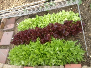 Lettuce in community garden plot