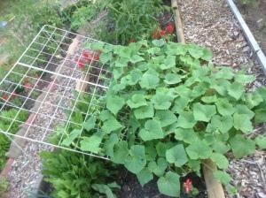 Cucumbers growing in community garden plot