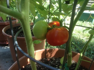 Tomatoes in patio garden