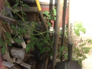 Volunteer tomato plant in crack near shed. A plant sprouts every year from this spot.  Not sure where the original seed came from. Love the resiliency of nature.