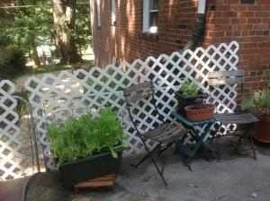 Lettuce still growing in patio garden