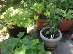 Squash, cucumber and peppers from patio garden