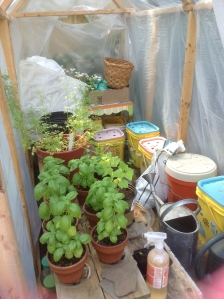 Greenhouse with basil plants