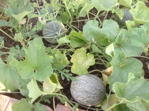 Cantaloupe growing well in community garden plot.