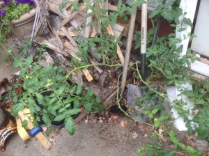 """Amazing """"volunteer"""" tomato plant from last year's seeds (green zebra) growing out of a crack by the shed. Quite resilient."""