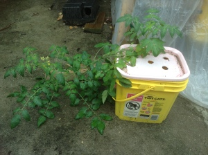"A ""volunteer"" tomato plant growing out of the compost bucket."